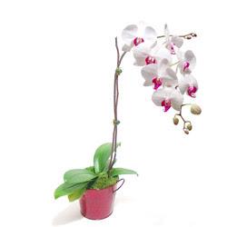 Bartın çiçek gönderme  Saksida orkide