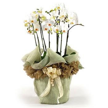 Bartın çiçek siparişi sitesi  3 dal orkide , saksi çiçegi , 3 kök orkide