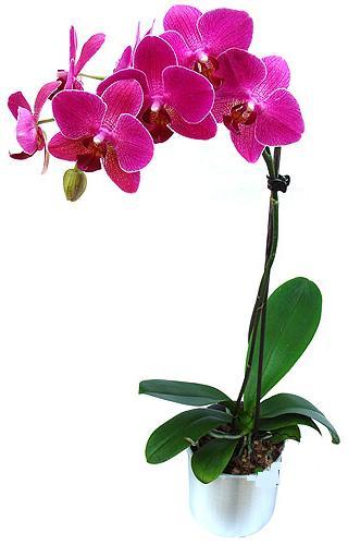 Bartın çiçekçi mağazası  saksi orkide çiçegi