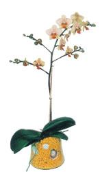 Bartın online çiçek gönderme sipariş  Phalaenopsis Orkide ithal kalite