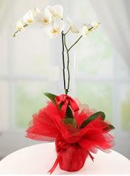 1 dal beyaz orkide saksı çiçeği  Bartın yurtiçi ve yurtdışı çiçek siparişi