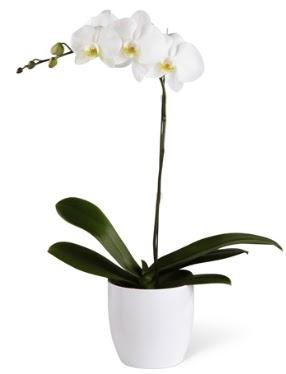 1 dallı beyaz orkide  Bartın 14 şubat sevgililer günü çiçek