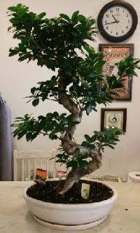 100 cm yüksekliğinde dev bonsai japon ağacı  Bartın İnternetten çiçek siparişi
