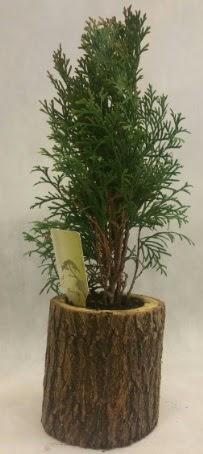 SINIRLI STOK Selvi Bonsai Doğal kütükte  Bartın İnternetten çiçek siparişi