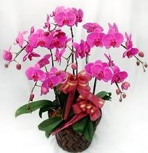 Sepet içerisinde 5 dallı lila orkide  Bartın ucuz çiçek gönder