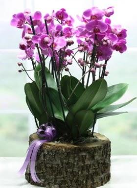 Kütük içerisinde 6 dallı mor orkide  Bartın ucuz çiçek gönder
