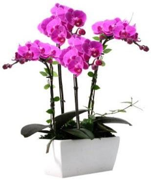 Seramik vazo içerisinde 4 dallı mor orkide  Bartın çiçek satışı