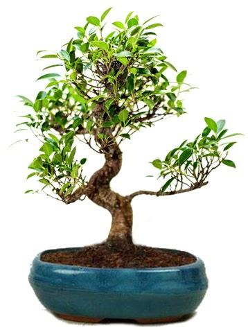 25 cm ile 30 cm aralığında Ficus S bonsai  Bartın çiçek gönderme sitemiz güvenlidir