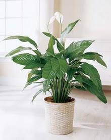 Bartın online çiçek gönderme sipariş  spatilyum ithal büyük boy