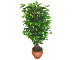 Ficus Benjamin 1,50 cm   Bartın anneler günü çiçek yolla
