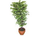 Ficus özel Starlight 1,75 cm   Bartın cicek , cicekci