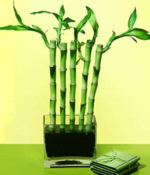 Bartın anneler günü çiçek yolla  Good Harmony Lucky Bamboo camda