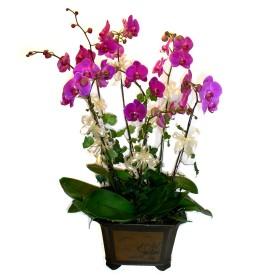 Bartın cicek , cicekci  4 adet orkide çiçegi