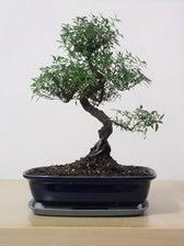 ithal bonsai saksi çiçegi  Bartın çiçek siparişi vermek