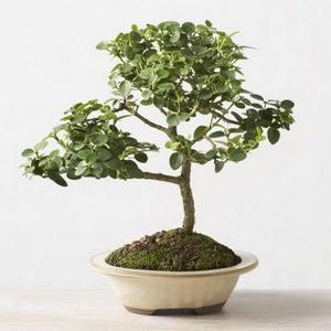 ithal bonsai saksi çiçegi  Bartın çiçek online çiçek siparişi