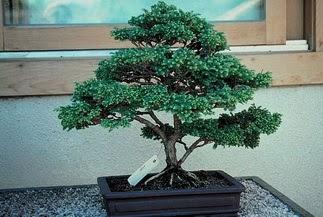 ithal bonsai saksi çiçegi  Bartın 14 şubat sevgililer günü çiçek