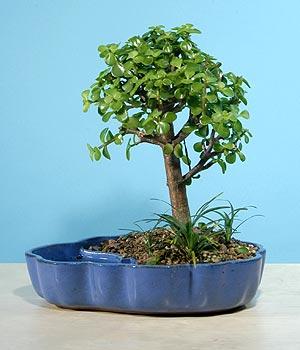 ithal bonsai saksi çiçegi  Bartın çiçekçiler