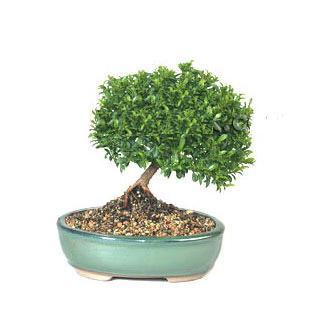 ithal bonsai saksi çiçegi  Bartın cicekciler , cicek siparisi