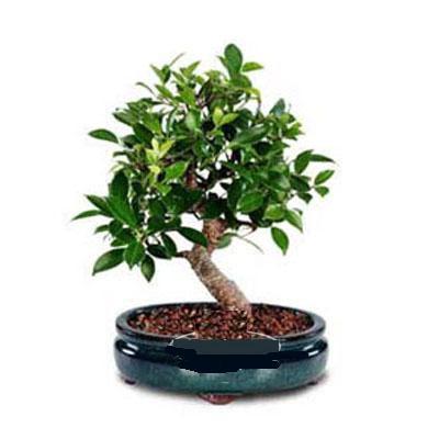 ithal bonsai saksi çiçegi  Bartın çiçek siparişi sitesi