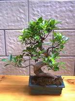 ithal bonsai saksi çiçegi  Bartın hediye sevgilime hediye çiçek