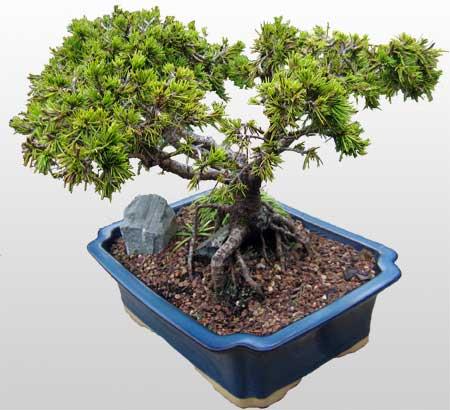 ithal bonsai saksi çiçegi  Bartın çiçekçi mağazası