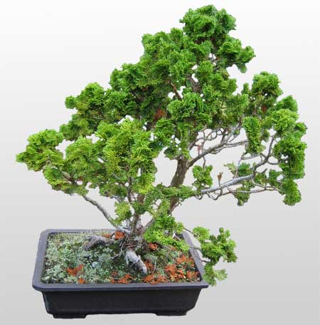 ithal bonsai saksi çiçegi  Bartın İnternetten çiçek siparişi