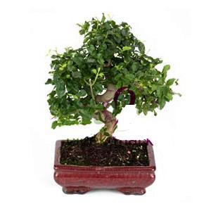ithal bonsai saksi çiçegi  Bartın anneler günü çiçek yolla