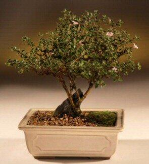 ithal bonsai saksi çiçegi  Bartın çiçek mağazası , çiçekçi adresleri