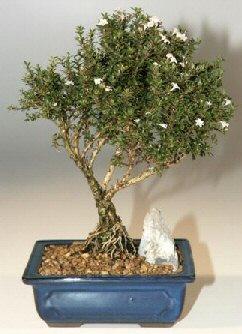 Bartın çiçek , çiçekçi , çiçekçilik  ithal bonsai saksi çiçegi  Bartın online çiçek gönderme sipariş