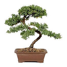 ithal bonsai saksi çiçegi  Bartın çiçek gönderme sitemiz güvenlidir