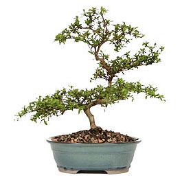 Bartın İnternetten çiçek siparişi  ithal bonsai saksi çiçegi  Bartın çiçek gönderme sitemiz güvenlidir