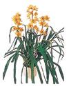 Bartın çiçekçiler  Orchiede ithal büyük boy saksi