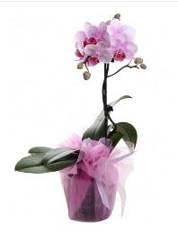 1 dal pembe orkide saksı çiçeği  Bartın kaliteli taze ve ucuz çiçekler