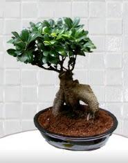saksı çiçeği japon ağacı bonsai  Bartın kaliteli taze ve ucuz çiçekler