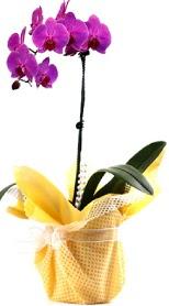 Bartın çiçek siparişi sitesi  Tek dal mor orkide saksı çiçeği