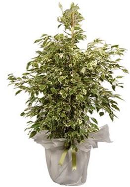 Orta boy alaca benjamin bitkisi  Bartın internetten çiçek satışı