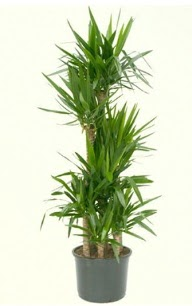 7 li yucca saksı bitkisi  Bartın çiçek servisi , çiçekçi adresleri