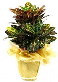 Orta boy kraton saksı çiçeği  Bartın 14 şubat sevgililer günü çiçek