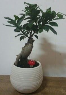 Bonsai japon ağacı saksı çiçeği  Bartın çiçek gönderme sitemiz güvenlidir
