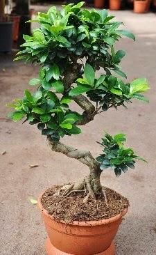 Orta boy bonsai saksı bitkisi  Bartın internetten çiçek siparişi