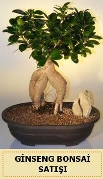 İthal Ginseng bonsai satışı japon ağacı  Bartın çiçek siparişi sitesi