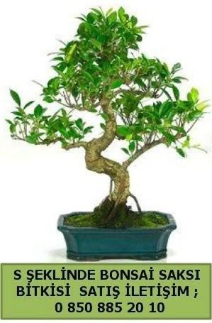 İthal S şeklinde dal eğriliği bonsai satışı  Bartın çiçek gönderme
