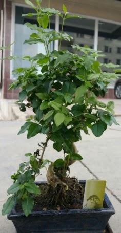 Bonsai japon ağacı saksı bitkisi  Bartın çiçek siparişi vermek