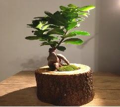 Doğal kütükte Bonsai japon ağacı satışı  Bartın internetten çiçek satışı