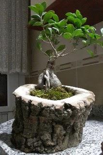Ahşap kütük içerisinde ginseng bonsai  Bartın internetten çiçek siparişi