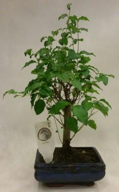 Minyatür bonsai japon ağacı satışı  Bartın çiçekçi telefonları