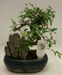 İthal 1.ci kalite bonsai japon ağacı  Bartın çiçek satışı