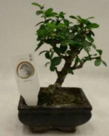 Küçük minyatür bonsai japon ağacı  Bartın çiçek gönderme