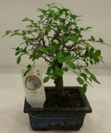Minyatür ithal japon ağacı bonsai bitkisi  Bartın çiçek satışı