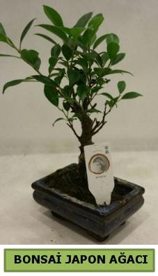Bonsai japon ağacı saksı bitkisi  Bartın çiçek servisi , çiçekçi adresleri